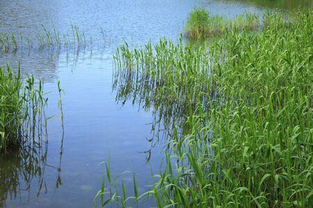 reed: Fresh green reed Stock Photo