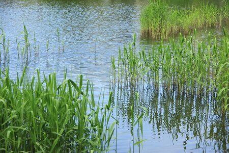 waterweed: Fresh green reed Stock Photo
