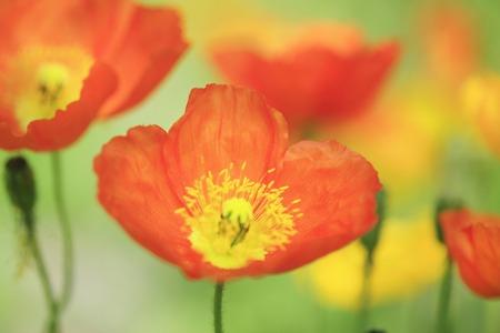 implantation: Poppy
