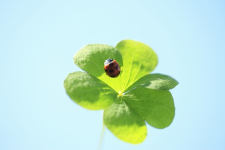 sweet grasses: Trefoil and ladybug