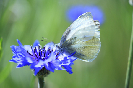 cornflowers: Cornflowers and butterfly