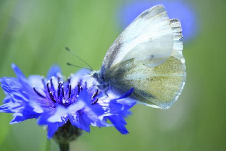 garden cornflowers: Cornflowers and butterfly