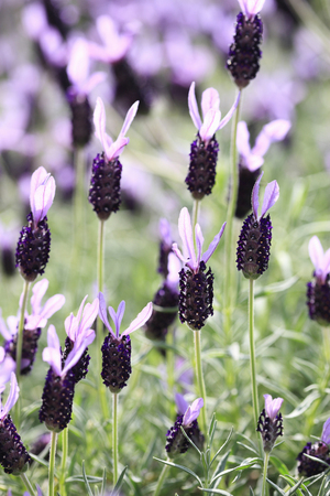 bushy plant: French Lavender Stock Photo