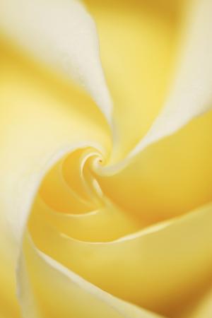 bushy plant: Rose