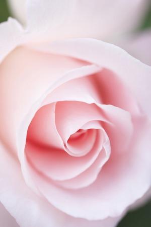 shrubbery: Rose