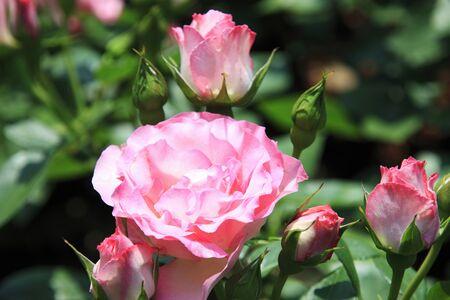 bushy plant: Rose pink Stock Photo
