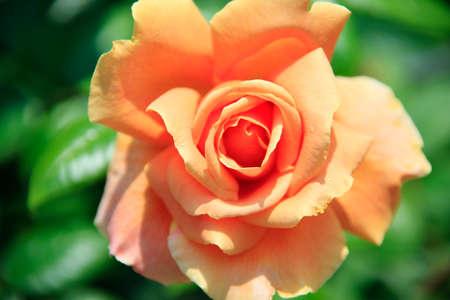 bushy plant: Rose, yellow Stock Photo