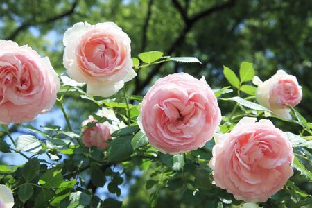 shrubbery: Rose pink Stock Photo
