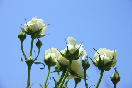 bushy plant: Rose white