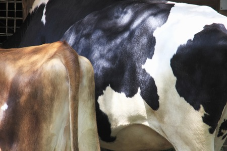 jersey cattle: Jersey and Holstein