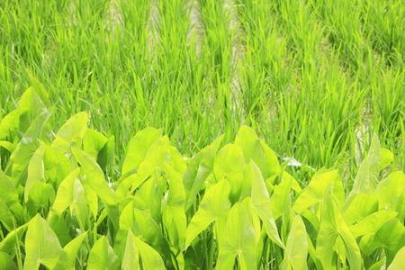 waterweed: Guwai and rice paddy