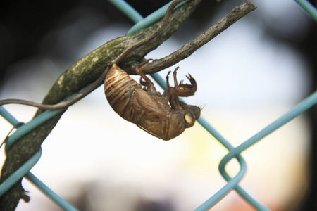 De-only shell of the cicada