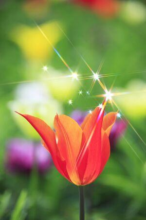 radiancy: Tulip