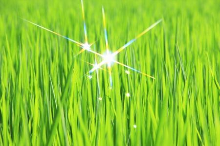 dew: Rice dew Stock Photo