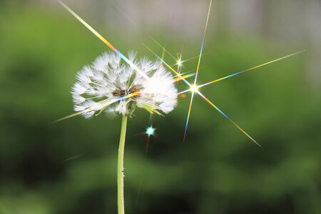radiancy: Dandelion