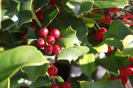 christmas holly: Christmas Holly Stock Photo
