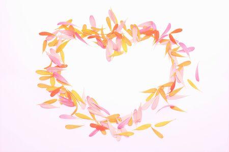daisy petals: Gerbera daisy petals