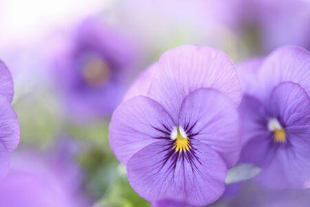 violeta: Violeta
