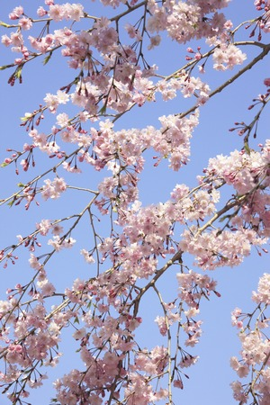 pleasent: Weeping cherry Stock Photo