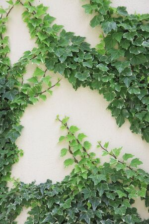 ivy wall: Wall and ivy Stock Photo