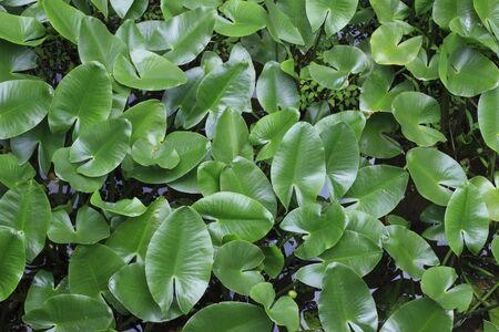 waterweed: Nuphar