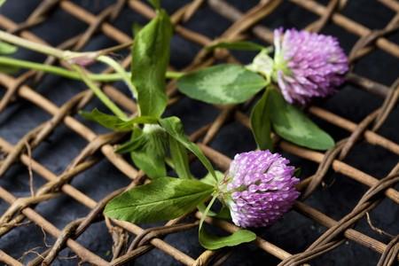 trifolium: Trifolium pratense Stock Photo