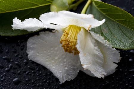 Stewartia pseudo-camellia photo