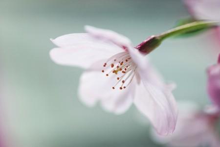 fleurs de cerisiers: Fleurs de cerisier