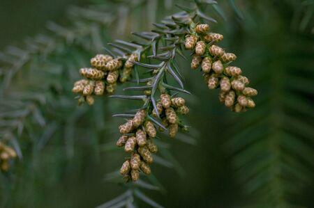 Japanese cedar with pollen Stock Photo - 6912685