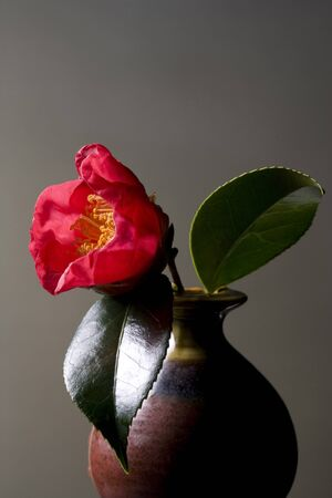 Red camellia isolated on dark background photo