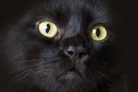 living thing: Close up black cats face with yellow eyes Stock Photo