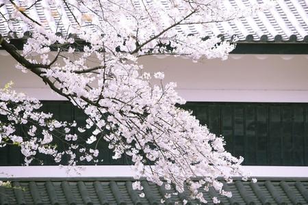 fleurs de cerisiers: A fleuri plein fleurs de cerisier en face de la vieille maison japonaise