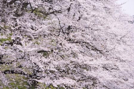 fleurs de cerisiers: A fleuri plein fleurs de cerisier au Japon Banque d'images
