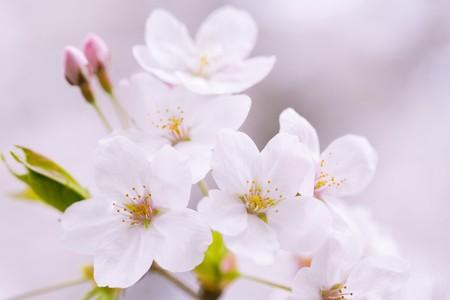 fleurs de cerisiers: Close-up shot of white bloomed cherry blossoms