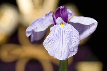 pla: Close-up shot of purple iris isolated in front of Japanese armor