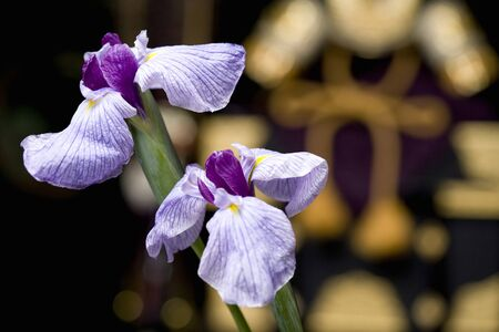 pla: Close-up shot of two purple irises isolated in front of Japanese armor Stock Photo