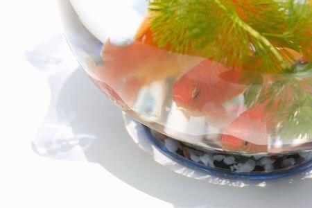 金魚ボウル