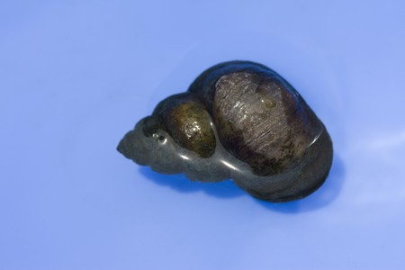 living thing: Pond snail Stock Photo