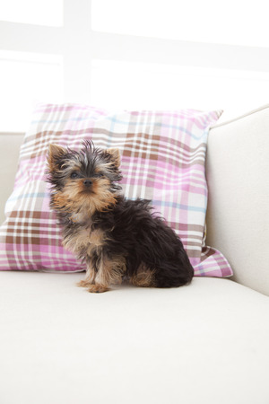 kanapa: Yorkshire terrier riding on the couch Zdjęcie Seryjne