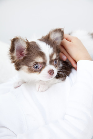 animal body part: Chihuahua that has been embraced by the girl