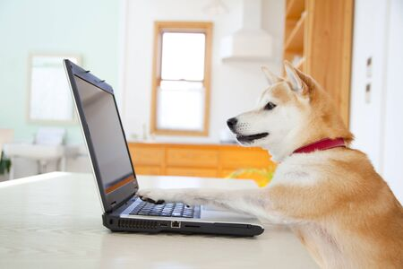 Shiba Inu using PC