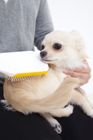 los seres vivos: Chihuahua para ser cepillado