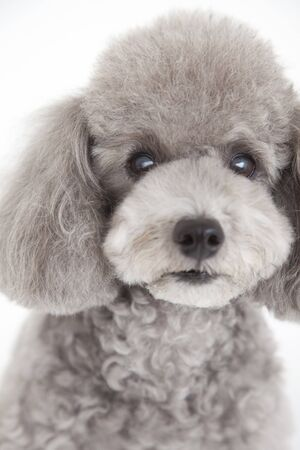 poodle: Toy poodle Stock Photo