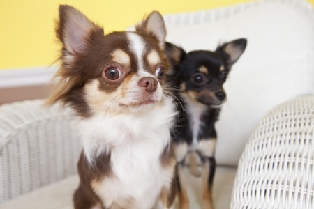 living thing: Two dogs Chihuahua