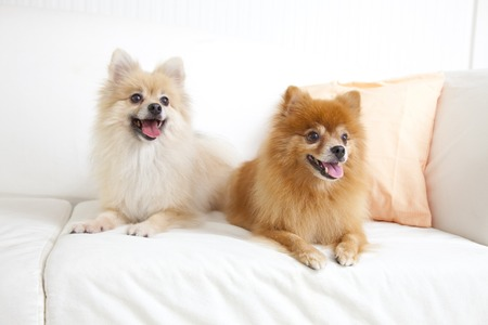 'living organism': Two dogs Pomeranian
