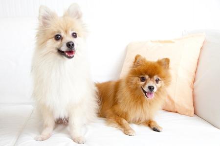 pomeranian: Two dogs Pomeranian