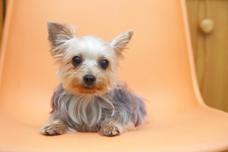 Yorkshire Terrier: Yorkshire Terrier