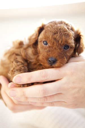 embraced: Baby toy poodle that is embraced by the people Stock Photo