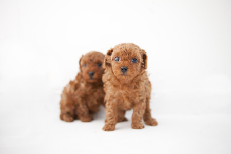 organisms: Toy poodle babies 2