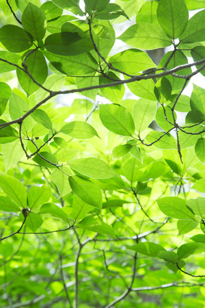 broadleaf: Fresh green leaves
